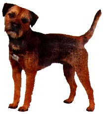 border terrier my early ancestors were known as coquetdale terriers in